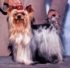 Yorkshire Terrier, 8, black brown